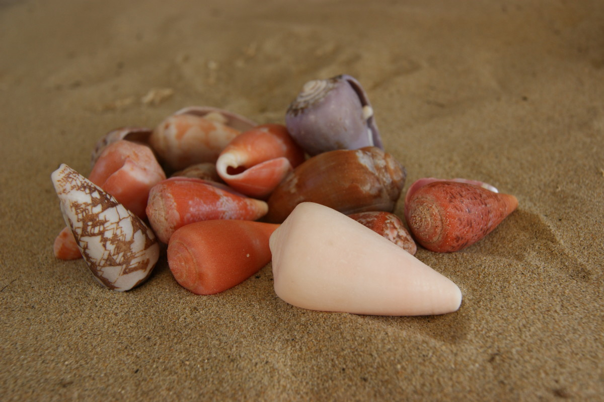 Cone Shells-often found with Cowries and my favorites