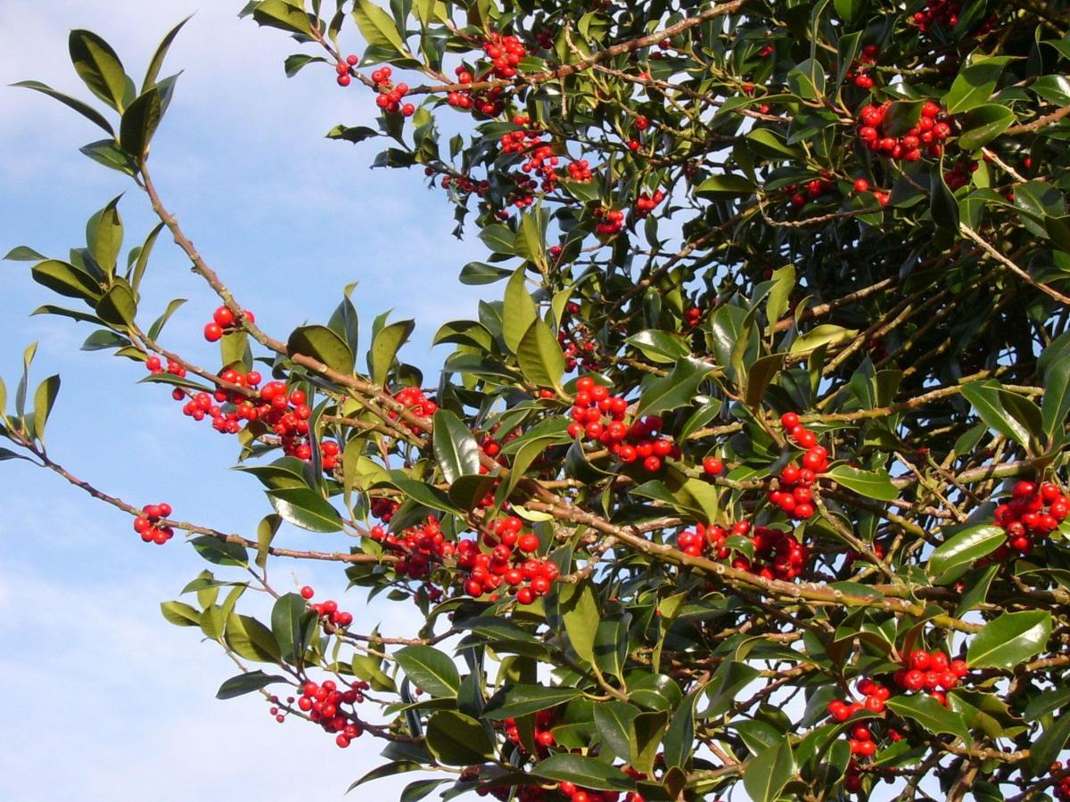 Holly tree with berries, a female of the species and favoured by the druids