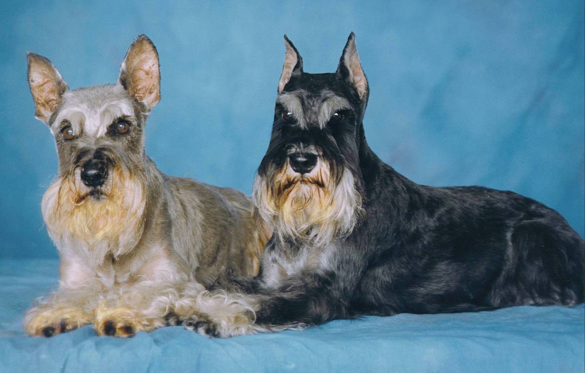 My first two Schnauzers, who both lived very long, and happy lives.