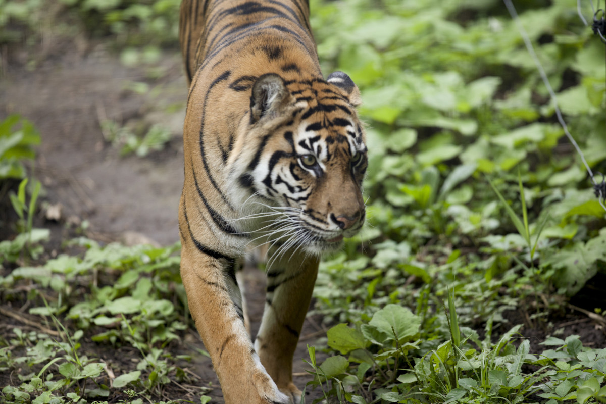tiger-names