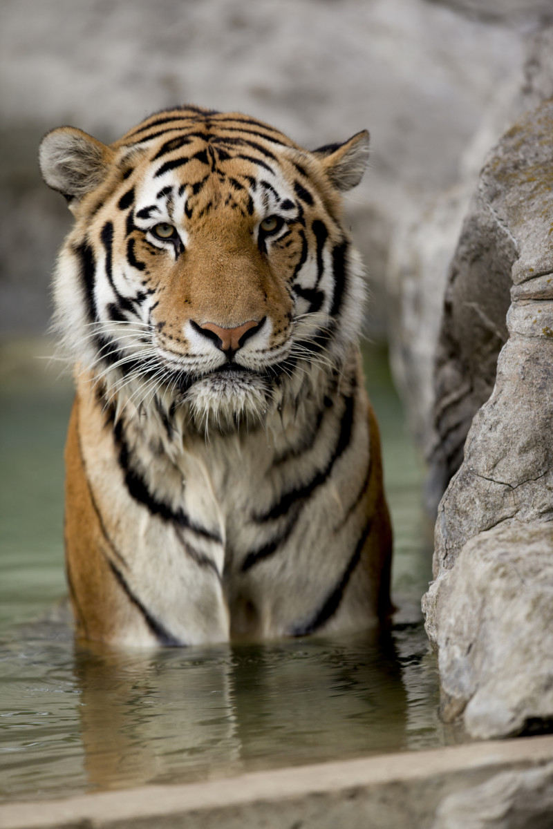 80 Tiger Names and Meanings (From Bandit to Zara)