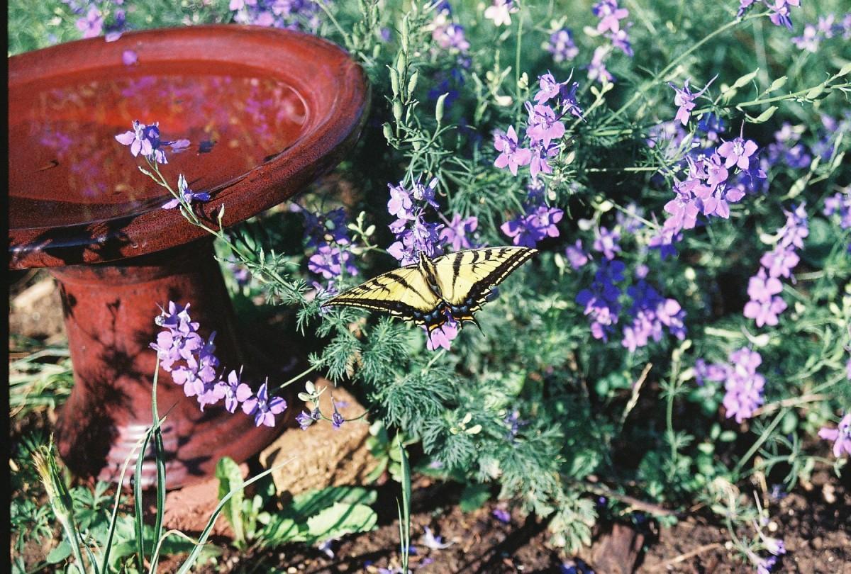 Butterflies love the xeriscape garden.