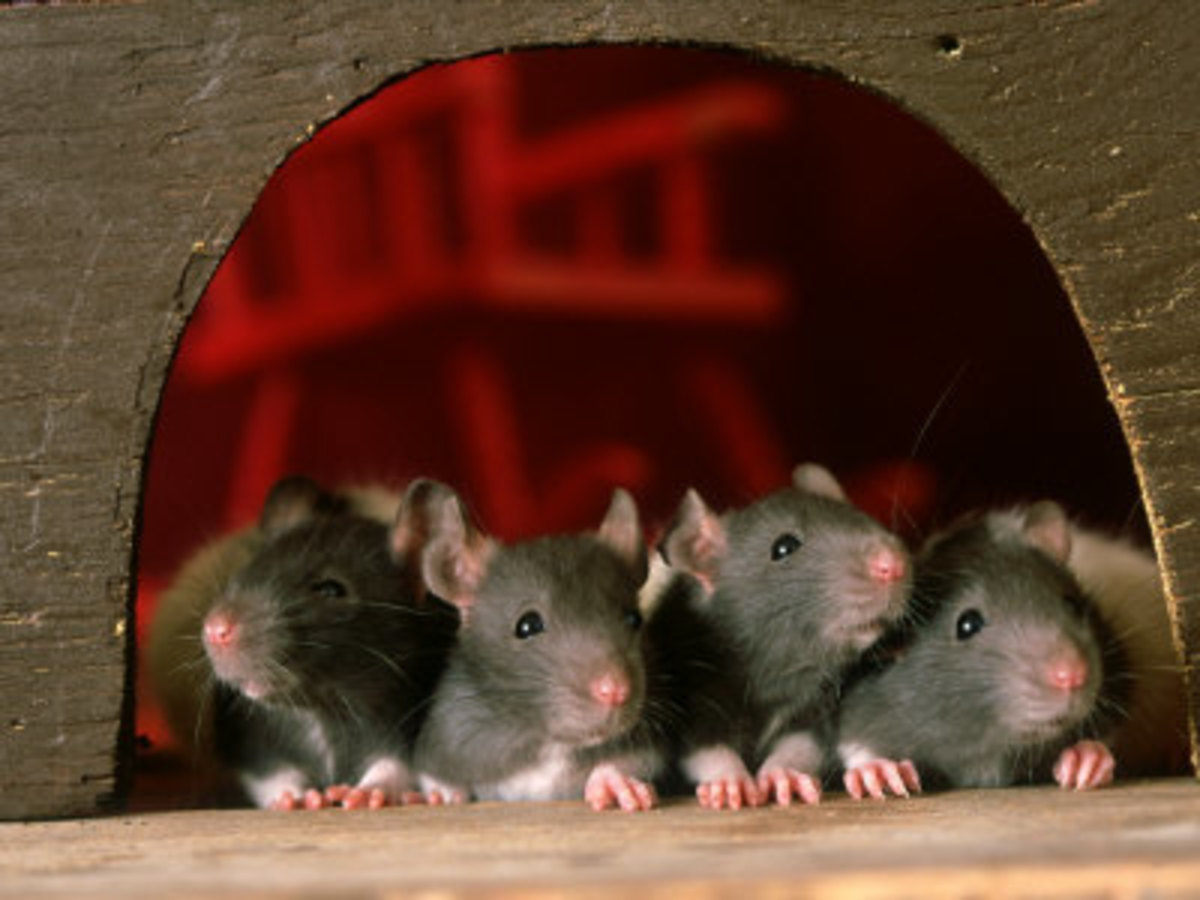 Foods That Are Poisonous to Your Rat | PetHelpful