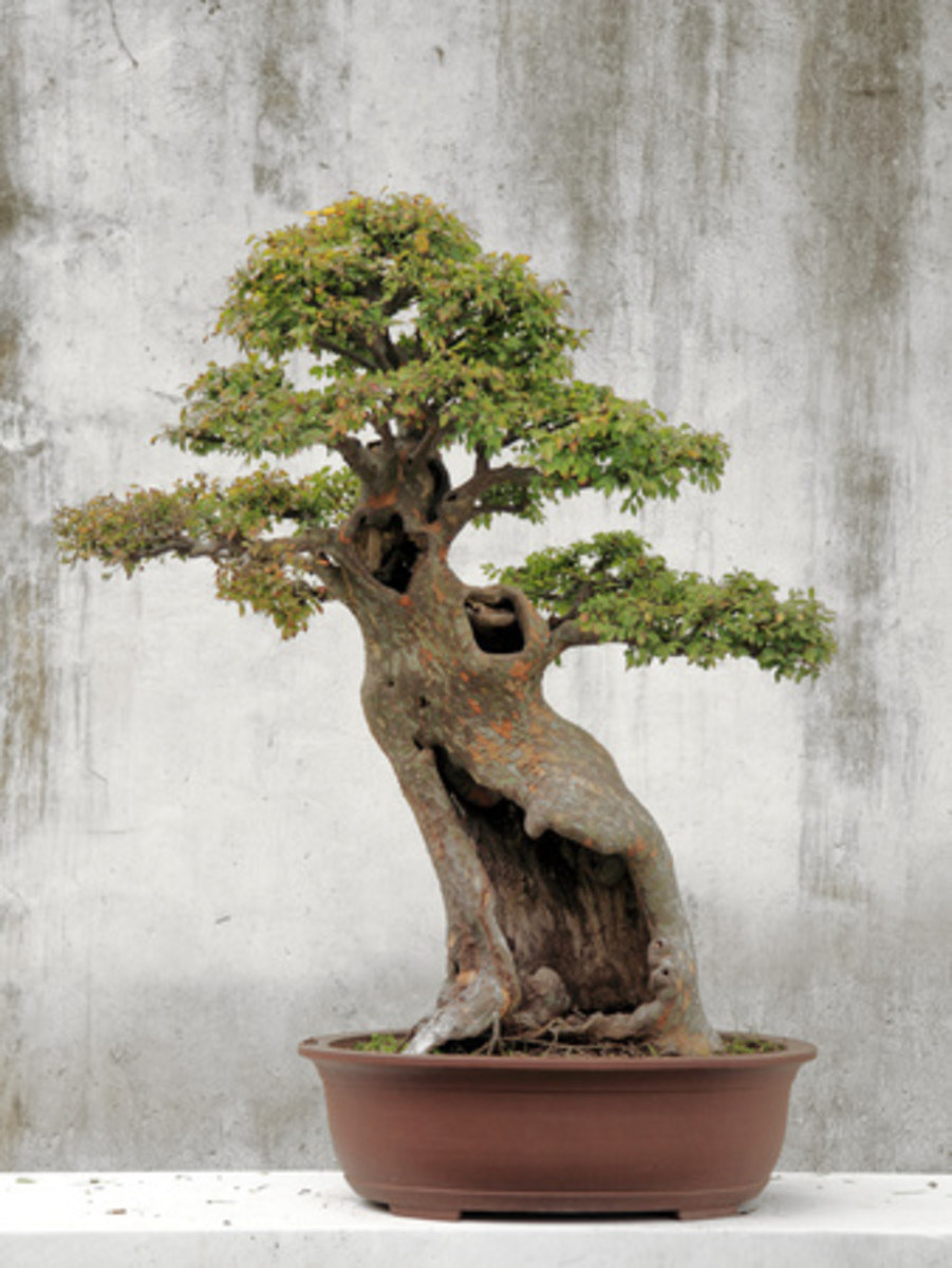 Bonsai tree brings good luck and happiness