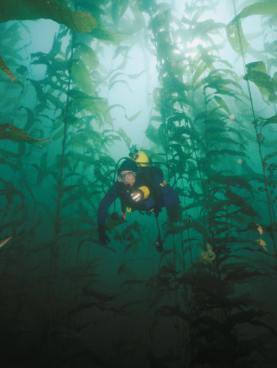 "Giant Kelp: The ""Trees"" of the Ocean!"