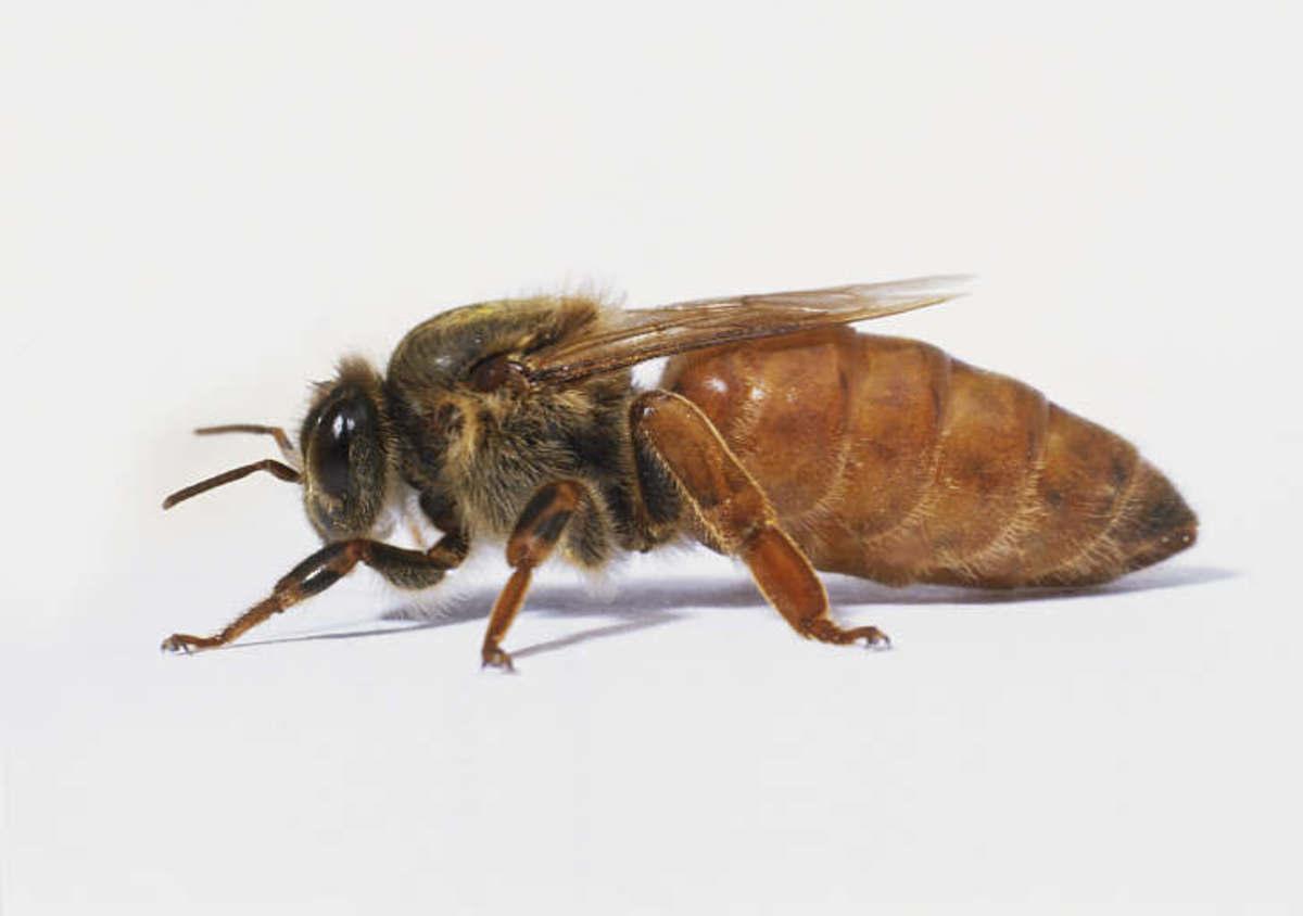 raising-queen-bees