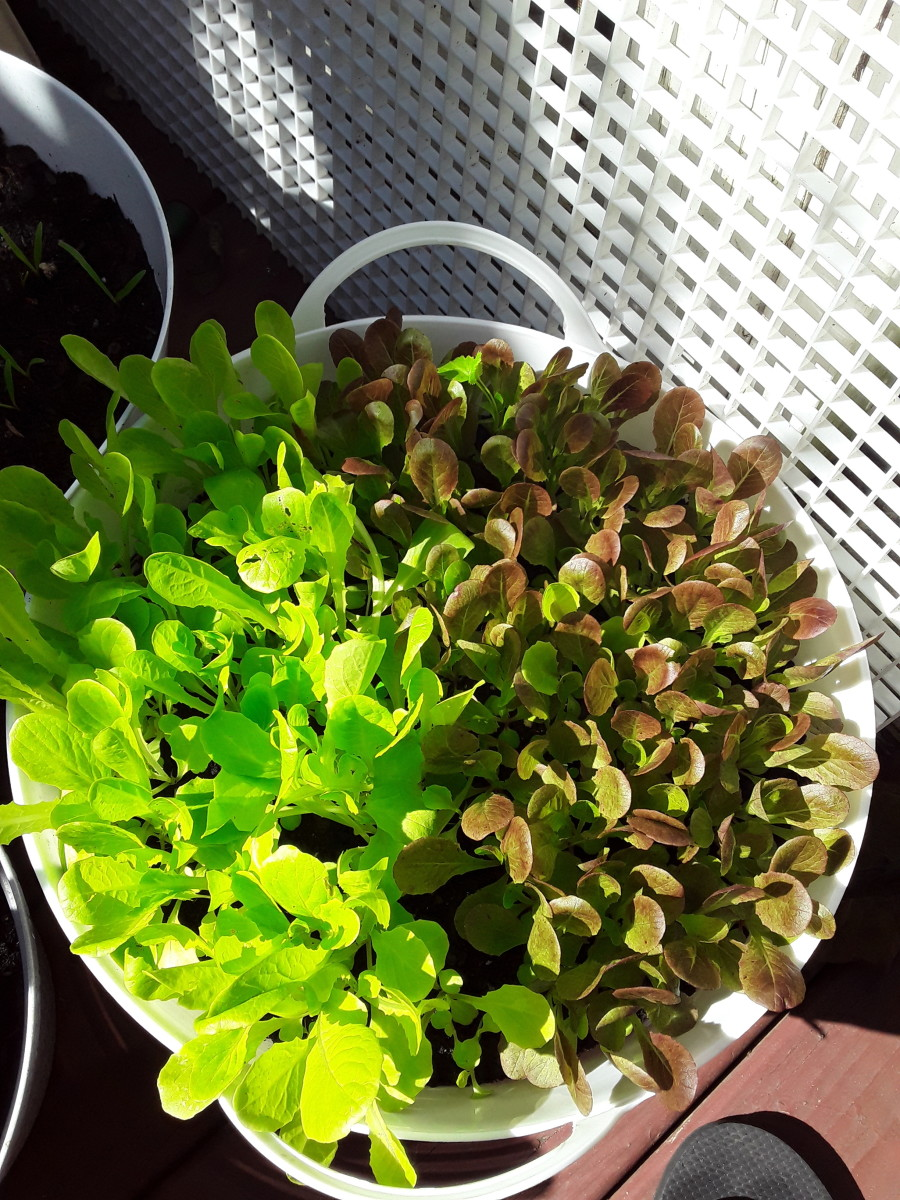 These baby lettuce plants are about two weeks old.