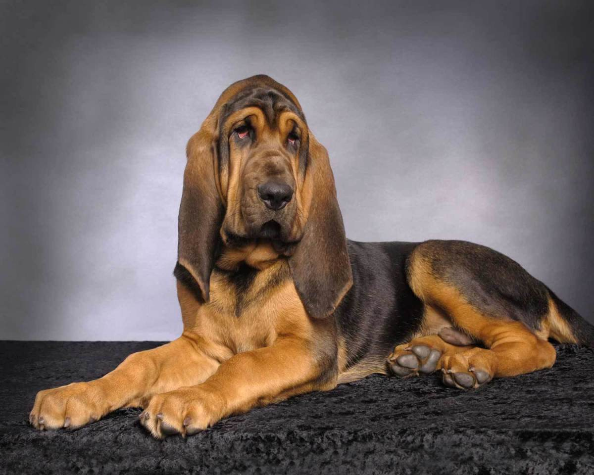 The bloodhound, a keen sniffer, devotedly loyal, and a skin-drooping cuddle.
