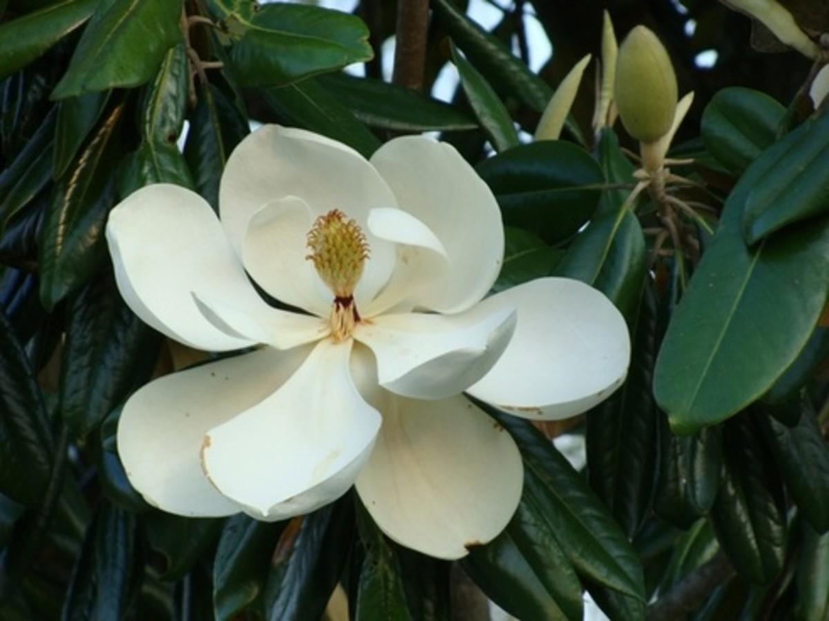 when-magnolias-bloom