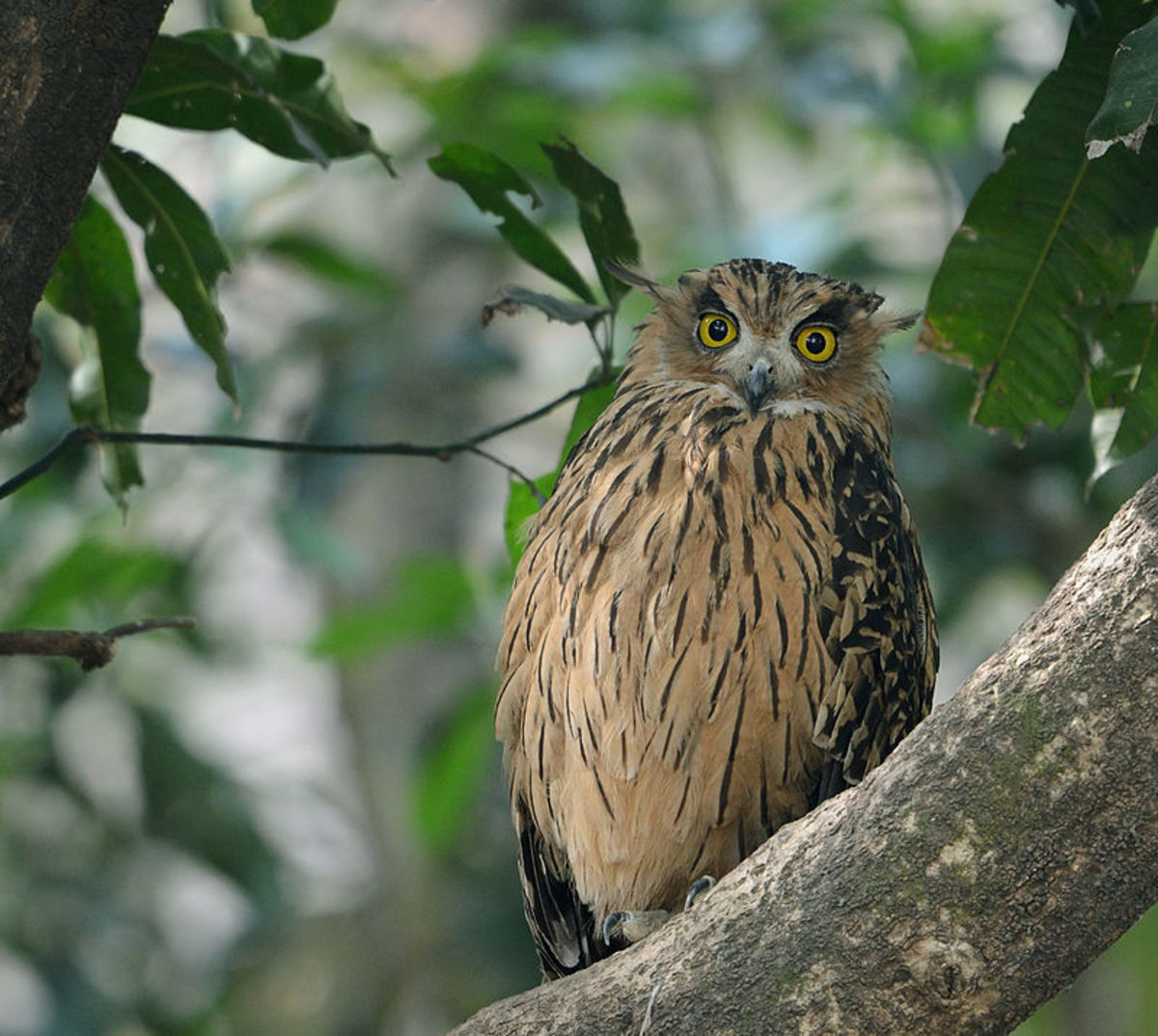 Bubo Flavipes - Jim Corbett National Park, Uttarakhand, India
