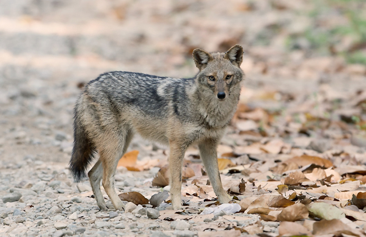 Golden Jackal, Jim Corbett National Park, Uttarakhand, India