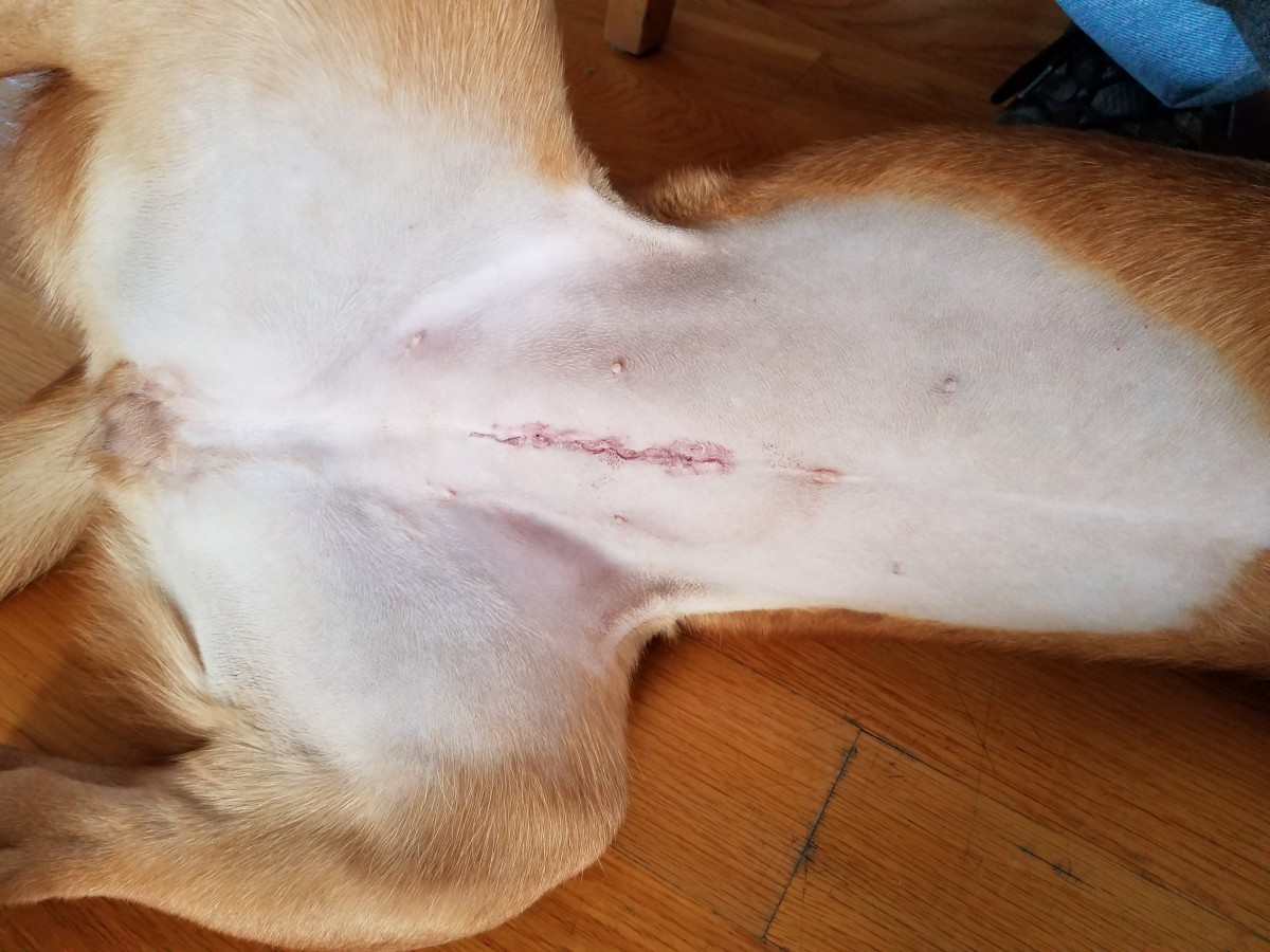 A typical spay scar, healing well.
