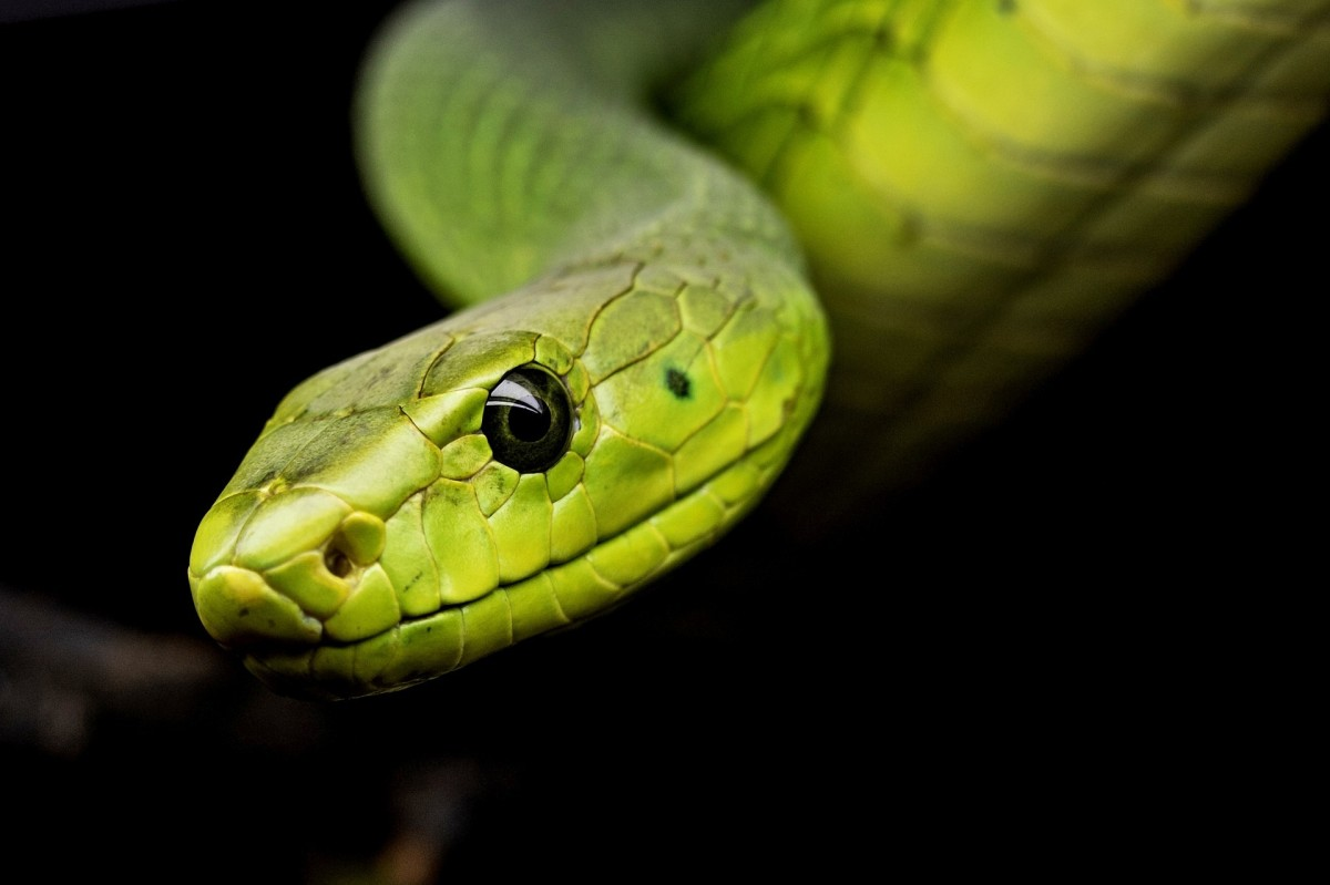 A snake, which is a metaphor that symbolizes n unjust system of government in the song Head of the Snake.