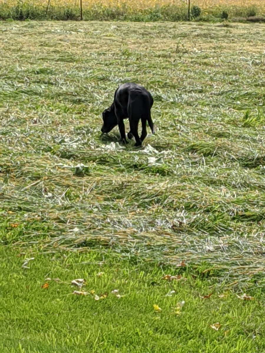 Neutering the Labrador Retriever