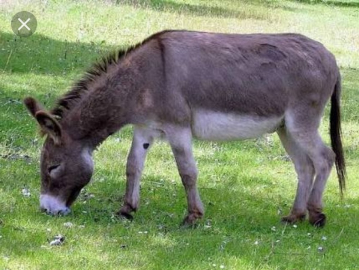 A donkey was tied of a tree....