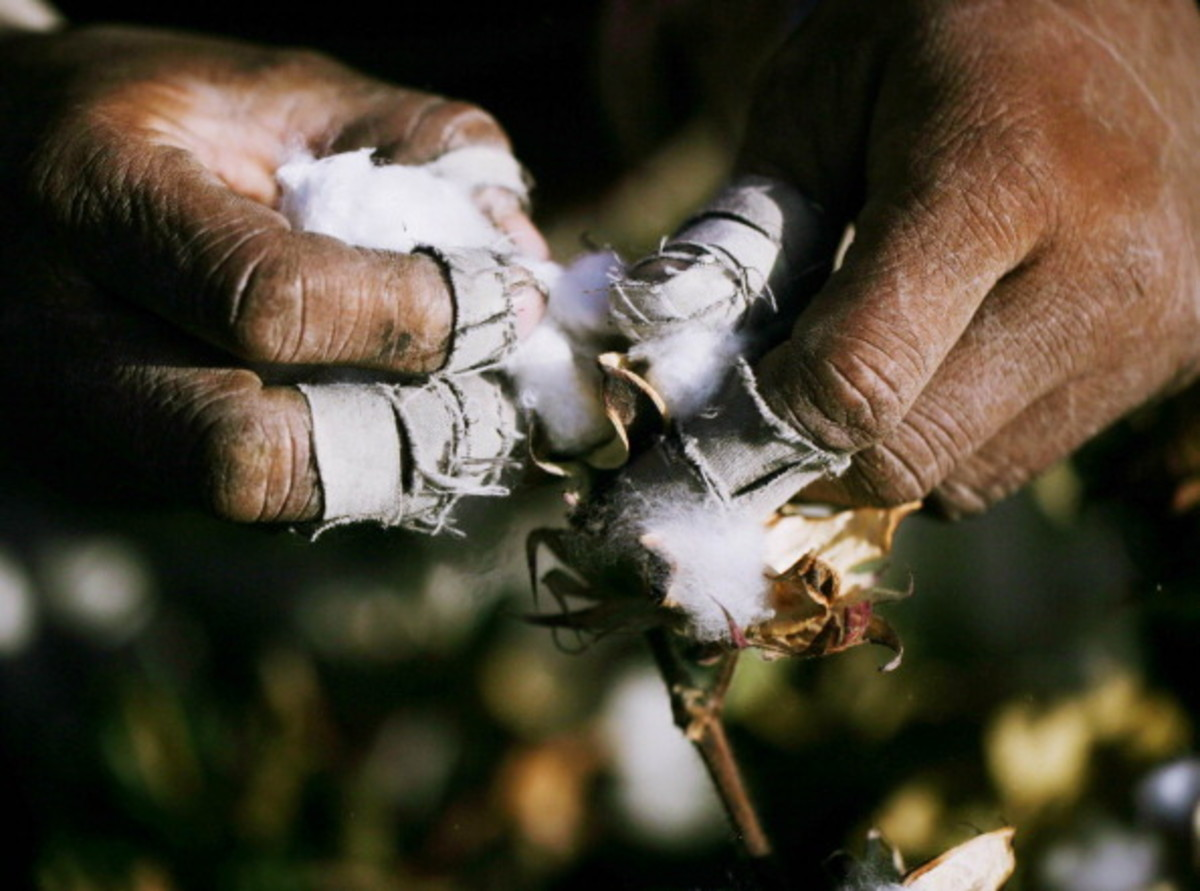 This single photo sums-up what cotton picking by hand is all about.