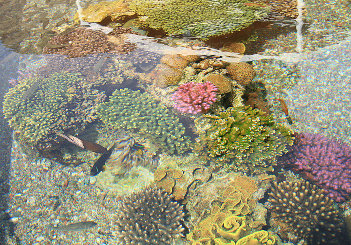 Israeli corals near Eilat, at the head of the Gulf of Aqaba.  Image by Ludwig14, courtesy Wikimedia Commons.