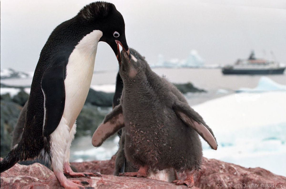 Adelie penguins.  Image by Jerzy Strzelecki, courtesy Wikimedia Commons.