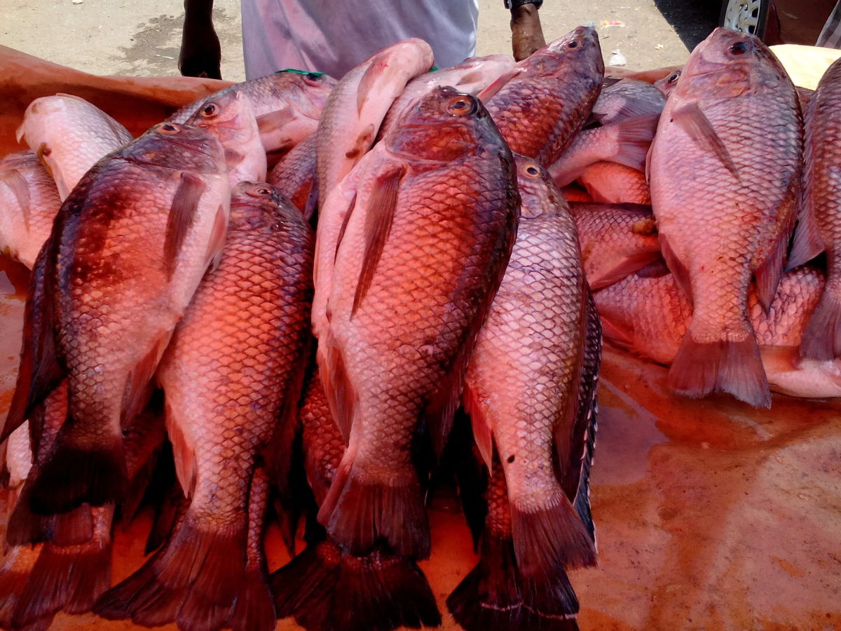 harvested tilapia fish