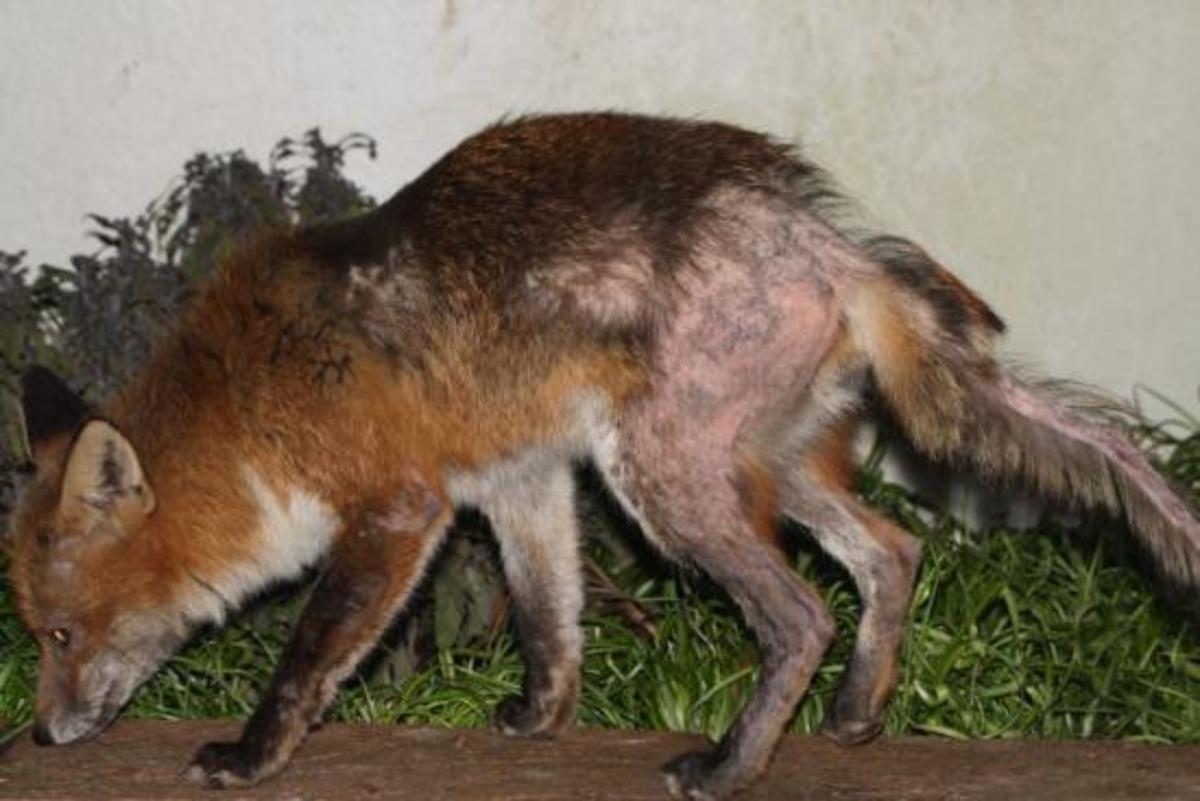 A fox with sarcoptic mange.