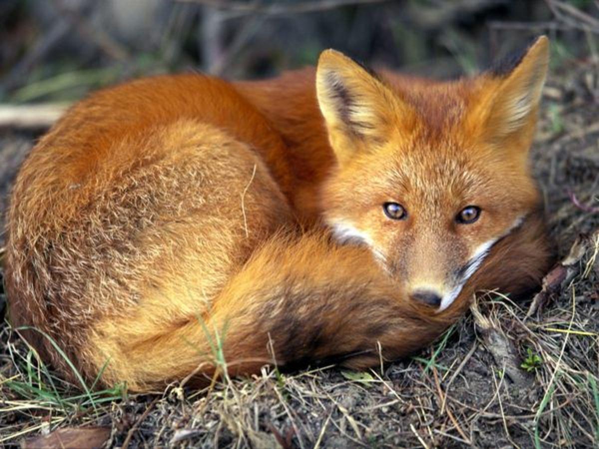 A healthy fox.