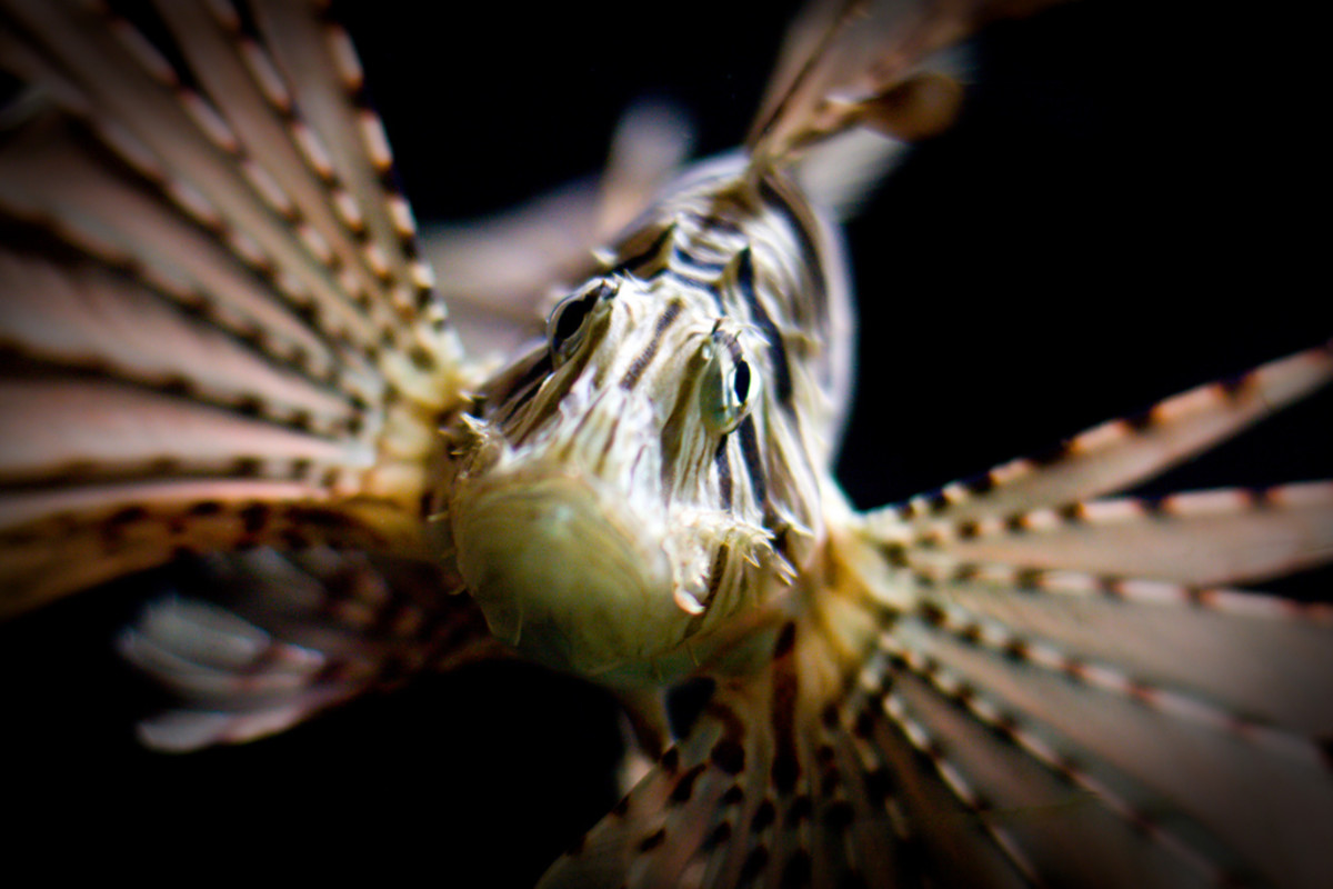 Lionfish has poison in its spines!