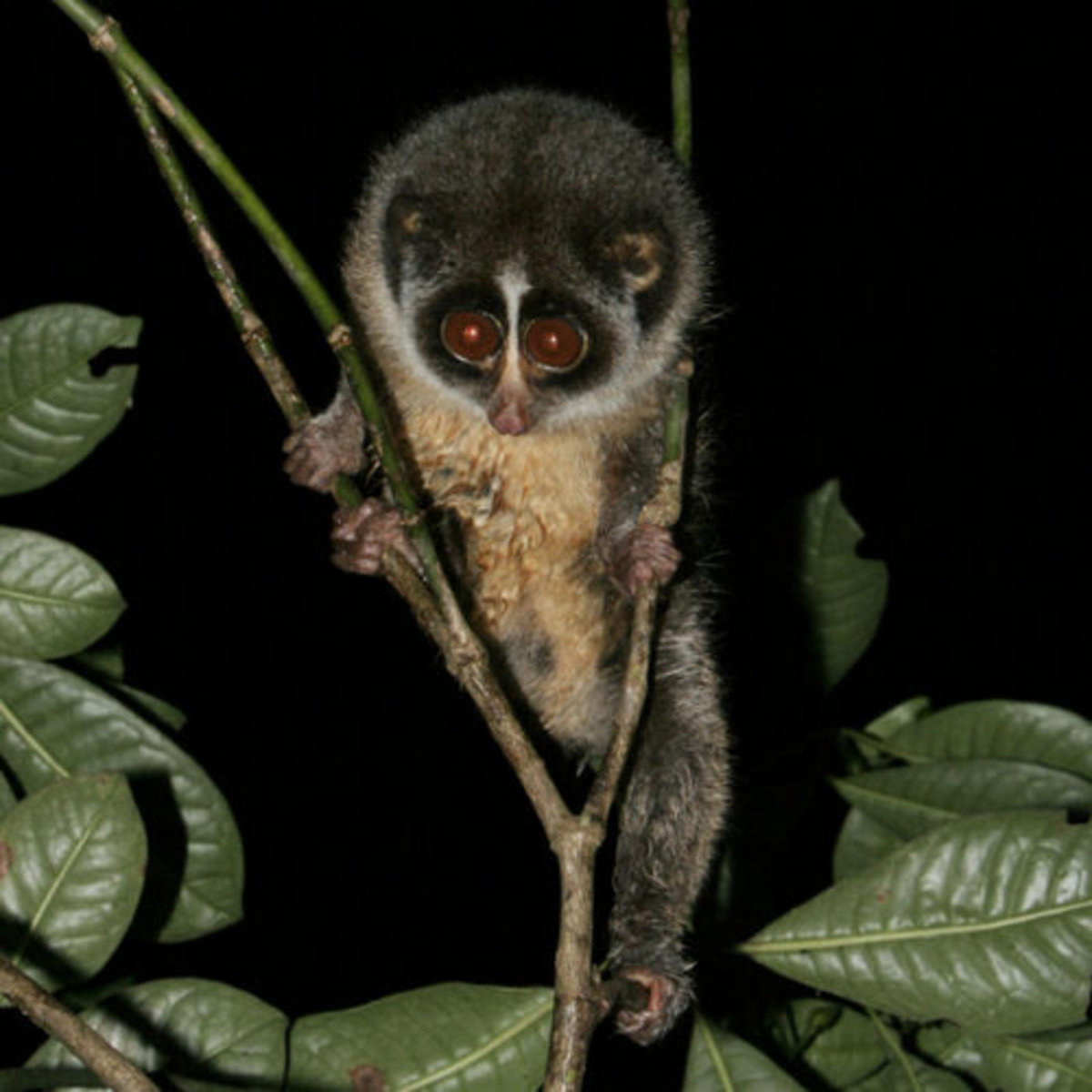 Venomous or Poisonous Mammal? The Loris Uses Venom