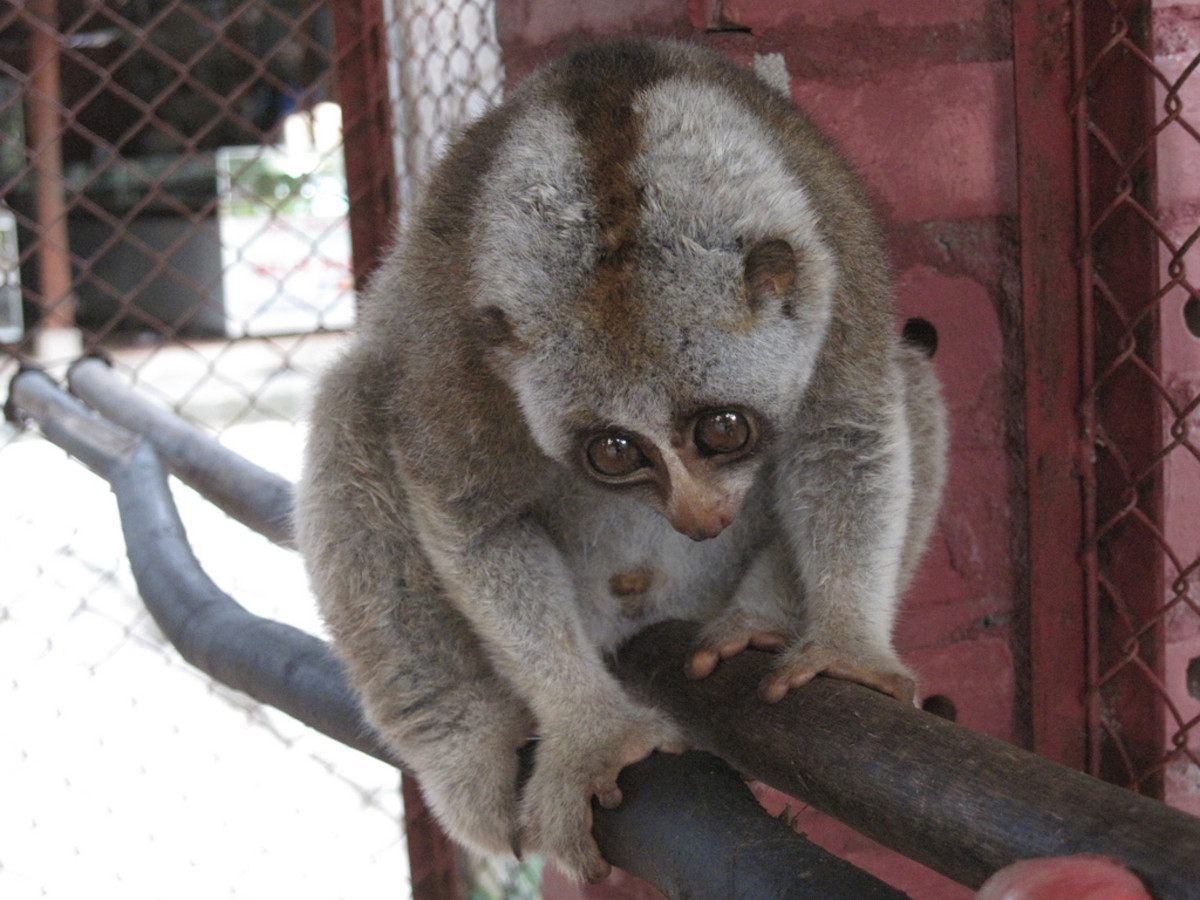 Slow Loris - In this picture, their opposable thumbs are easily viewed.