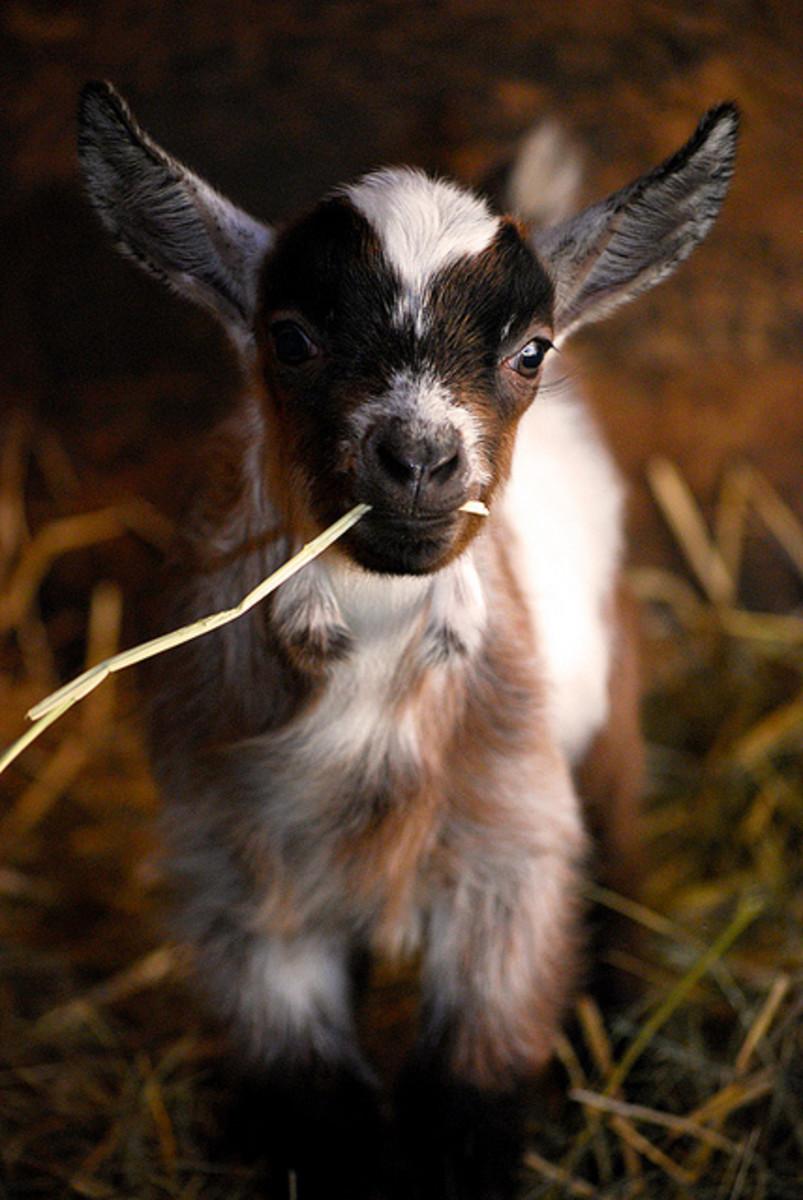 Cute 2 Week Old Kid - I'll take a dozen!