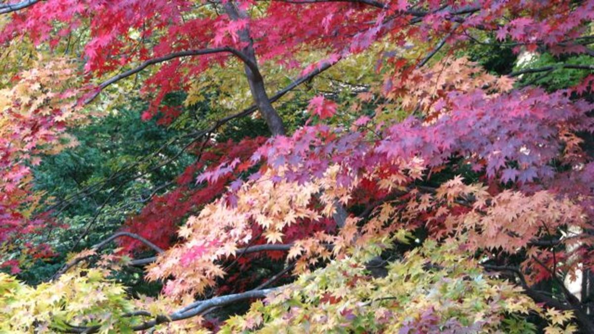 Tamozawa's maples in fall.