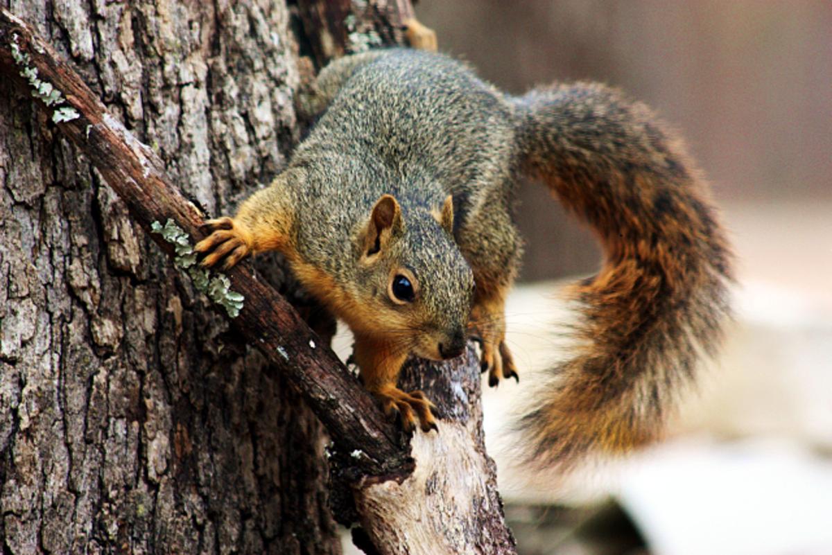 Fox Tail Squirrel Sitting on Branch, Taken Through Window