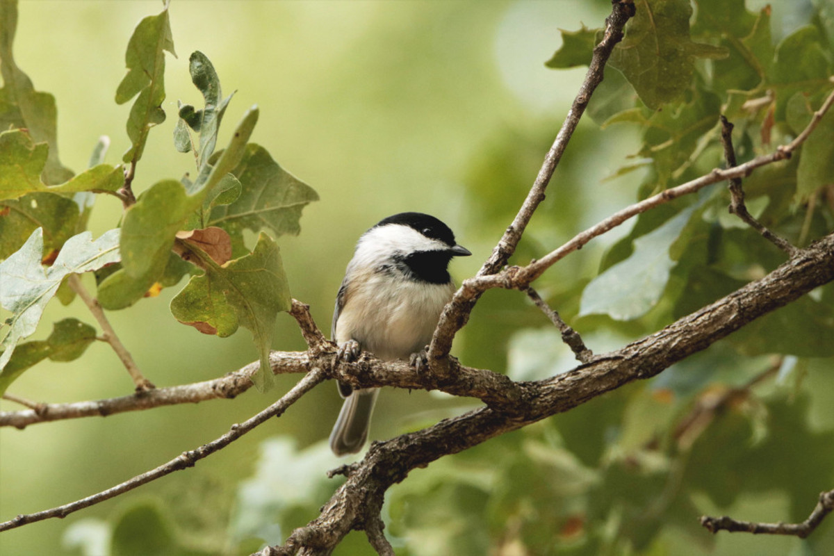 Black-capped chickadee perched on branches.
