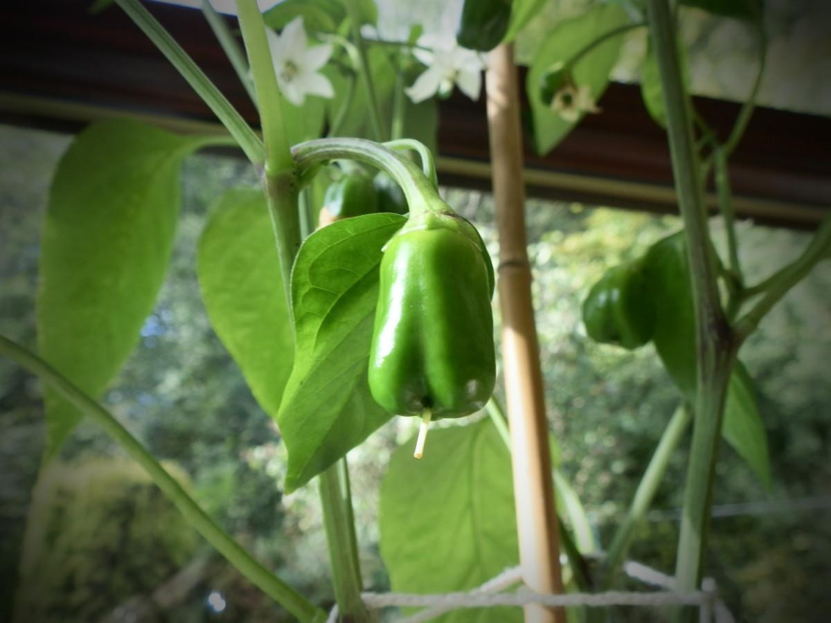 Pepper plant using pinhole setting