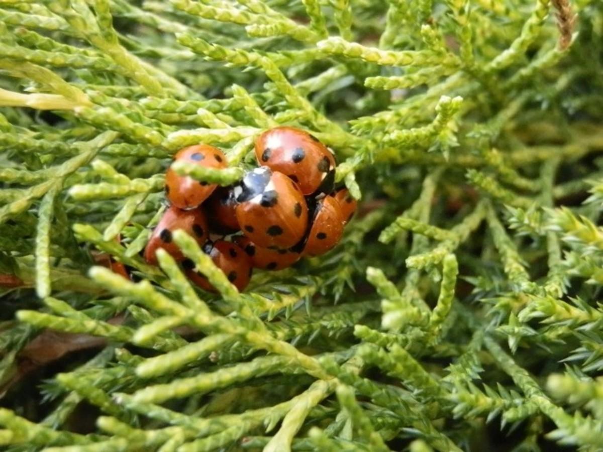 Ladybird cluster