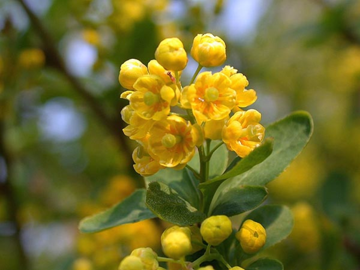 Berberis Vulgaries - homeopathic healing kidneys and pain in the bones