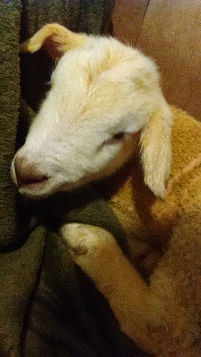 How to Save a Lamb that is Cold, Chilled, or has Hypothermia