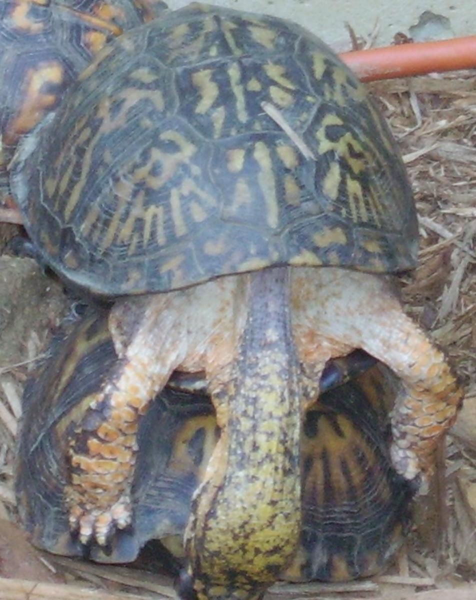 Eastern box turtles mating: Anybody home?