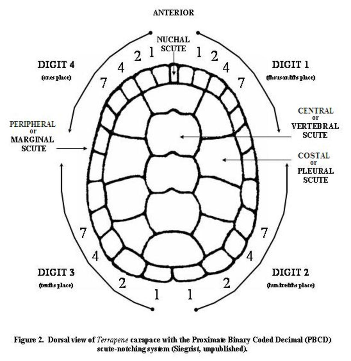 The number of growth rings on a scute does not necessarily show how old a turtle is.
