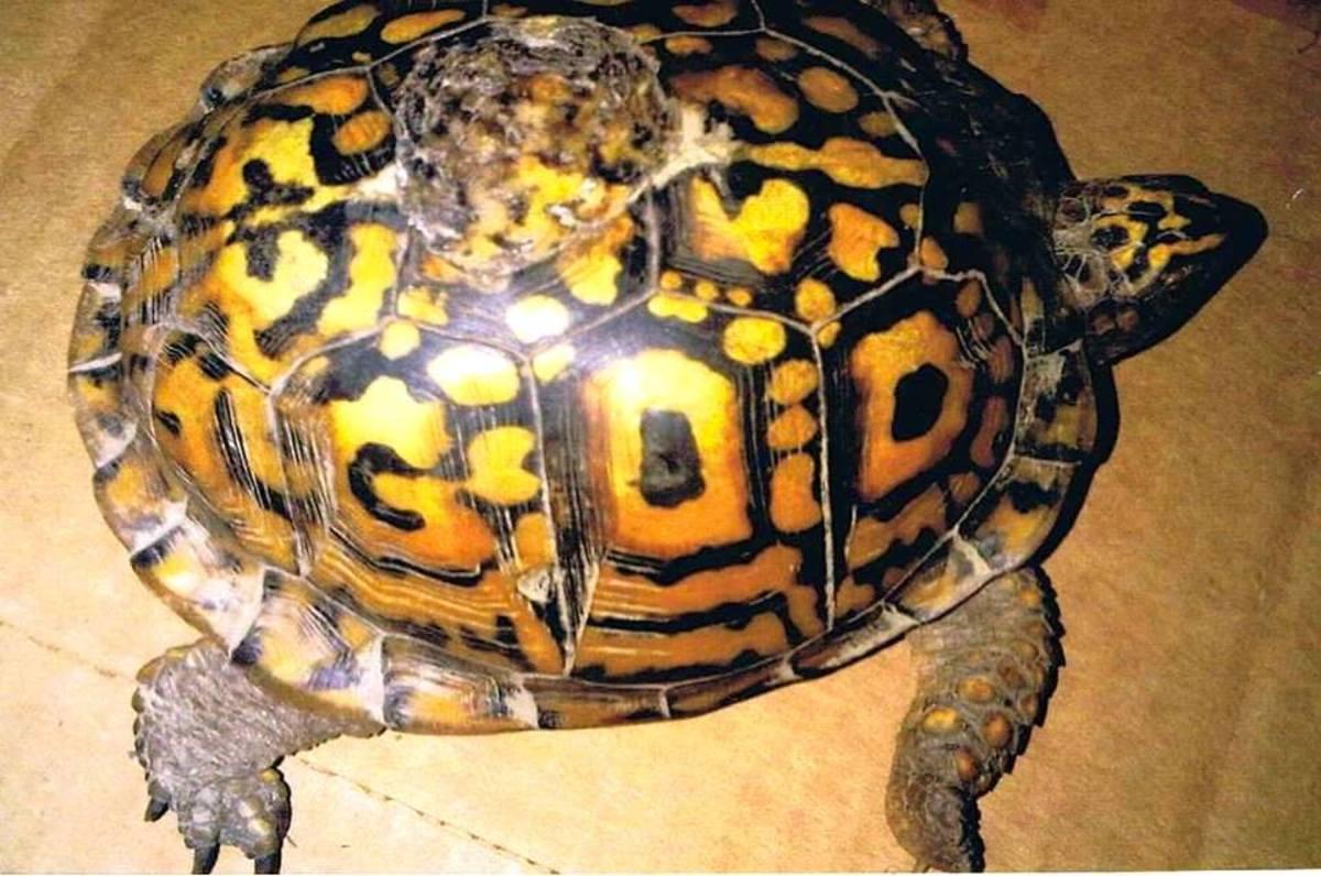 The GOD turtle.