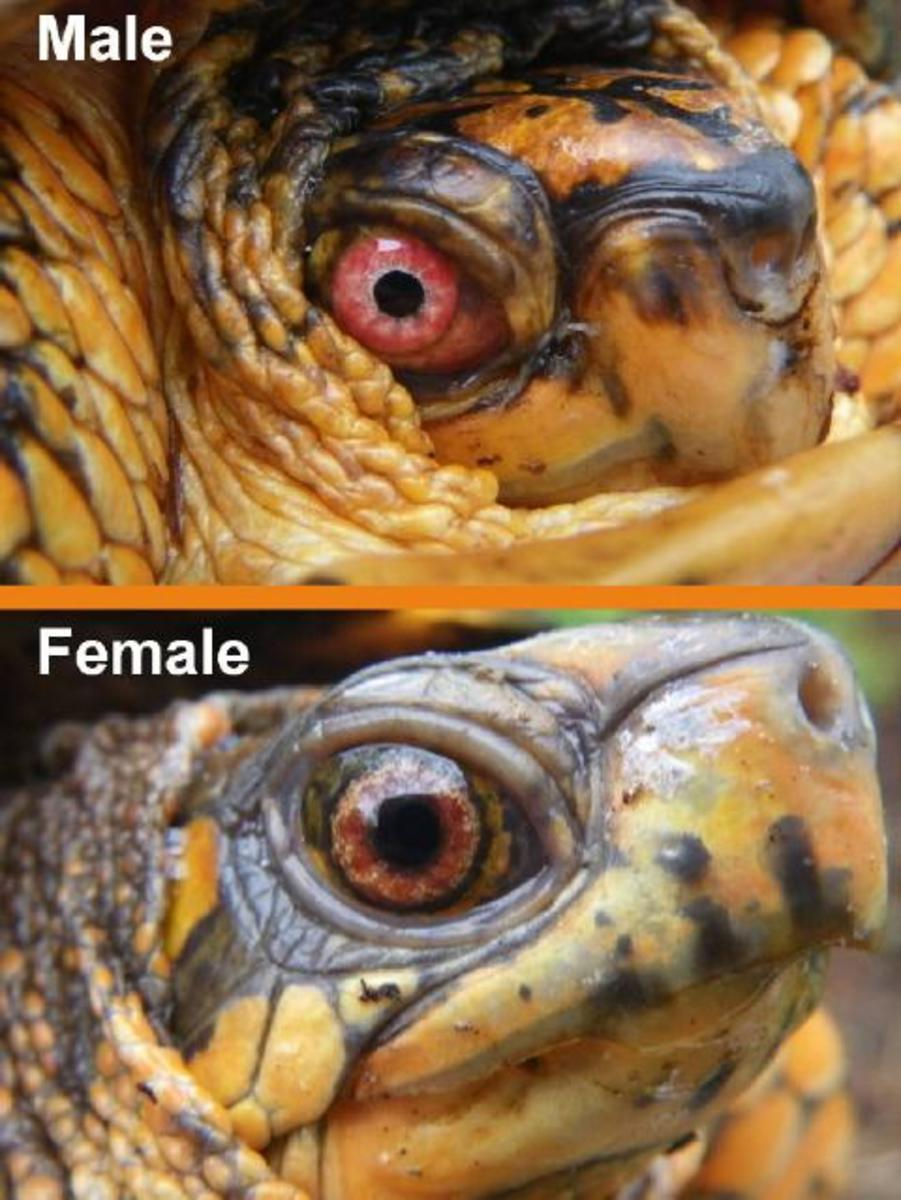 Often people will mistake a reddish brown female eye for a male's red eye but when examined side by side, it is easier to discern the difference.