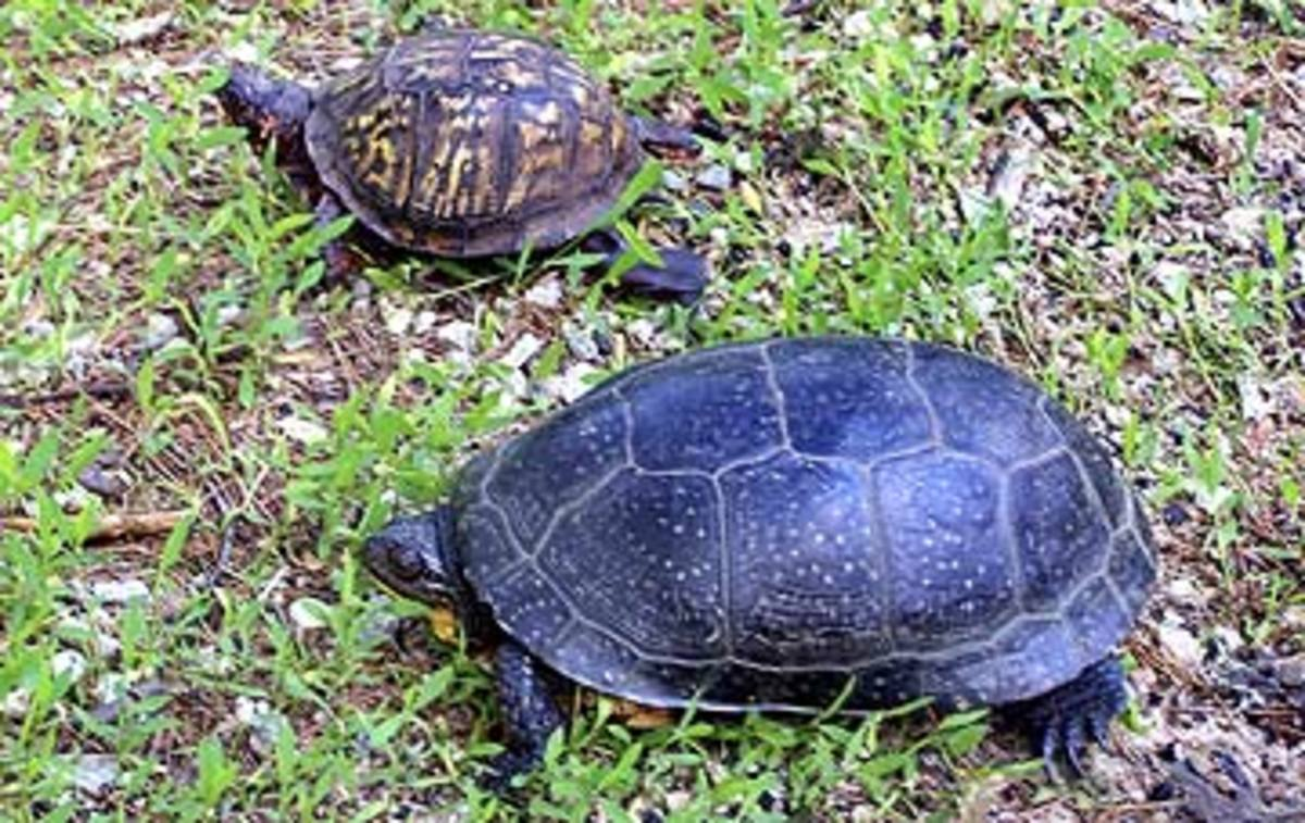 Comparison of an Eastern and a Blandings turtles