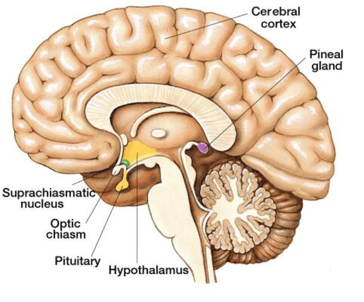 Notice the pineal gland is located outside the blood brain barrier.