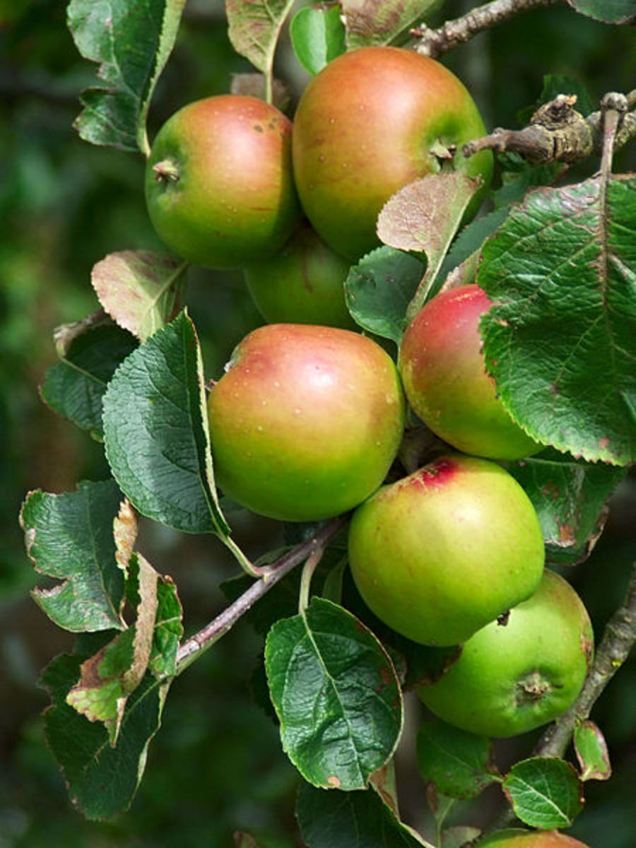 Health Benefits of Apples: Preventing Alzheimer's and Averting Asthma