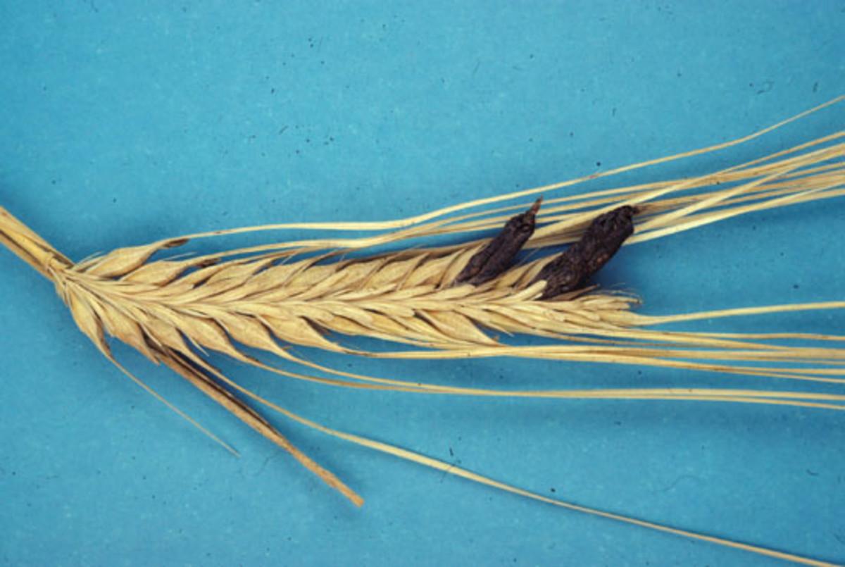 Ergot parasitizing rye