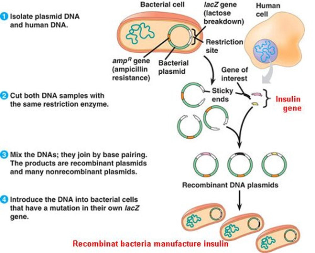 Genetic engineering for insulin production
