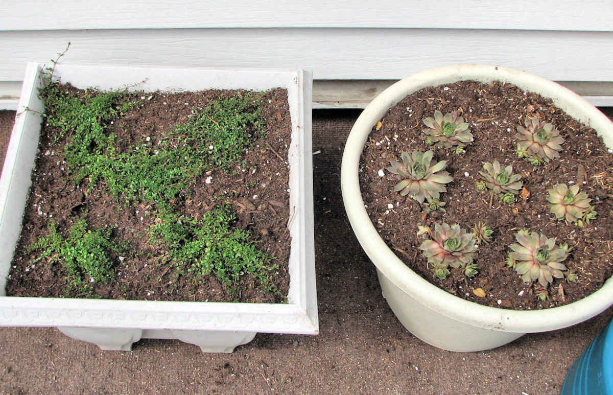 My older daughter's new transplants; Hens and Chicks and a creeping thyme.