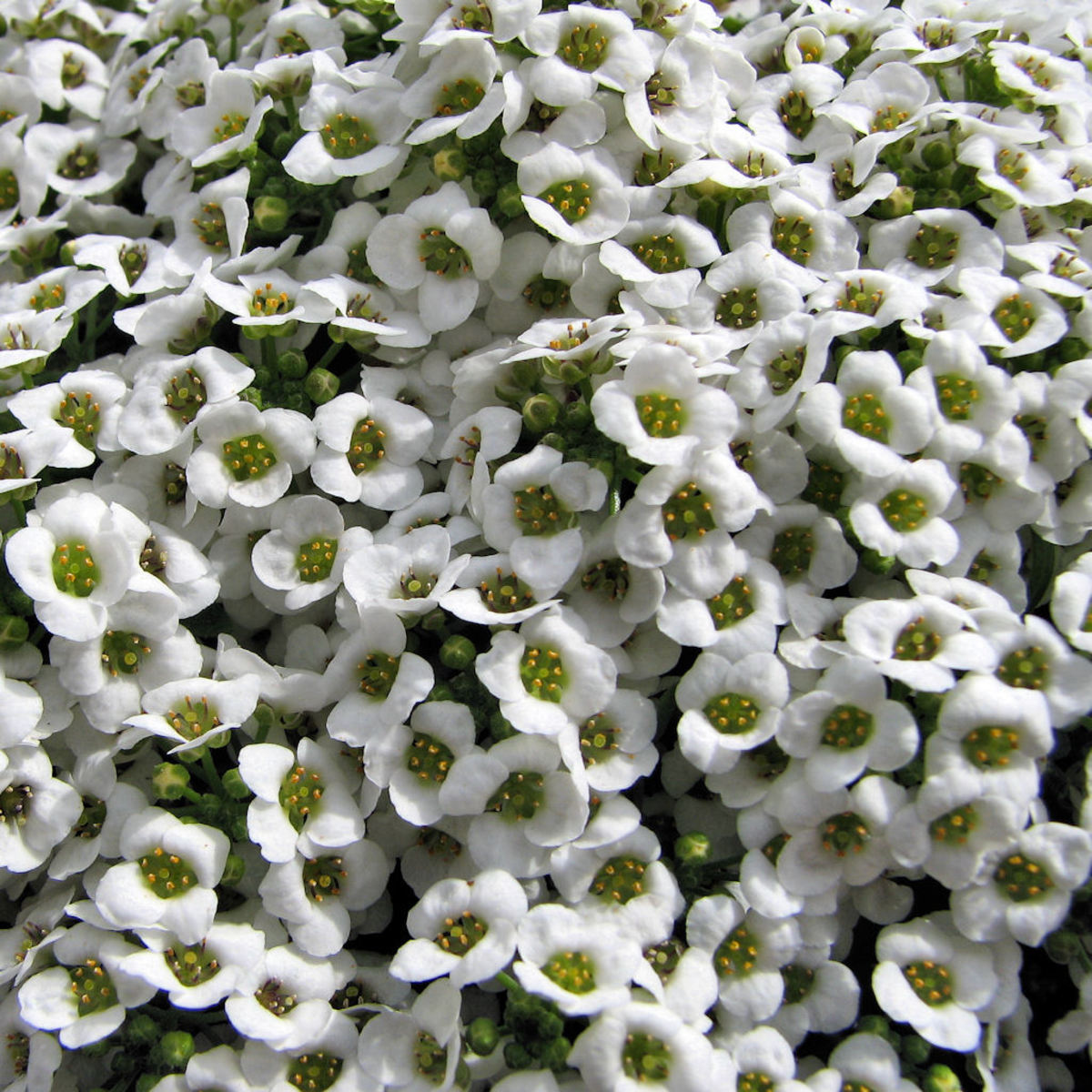 These alyssium have such a wonderful scent!