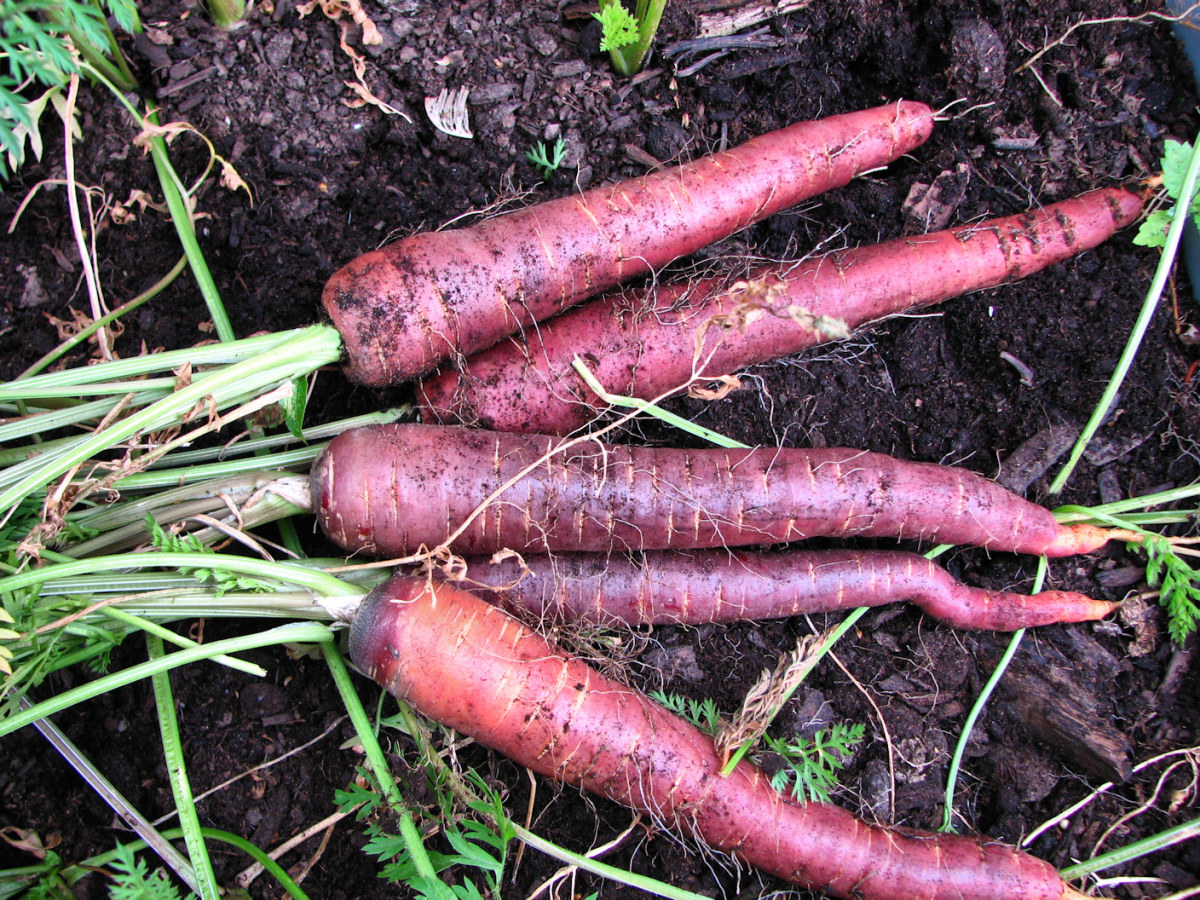 This year, the purple carrots did very well - and with 3 year old seeds, too!  The hail storm wasn't able to damage these deep roots.