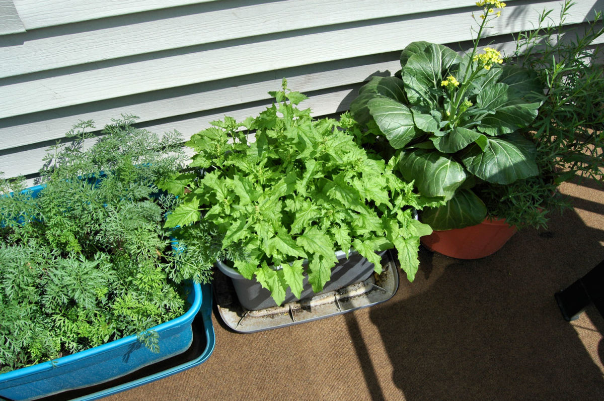 "Carrots on the left, Bok Choy on the right and ""Strawberry Spinach"" in the middle (those didn't do well at all!)"