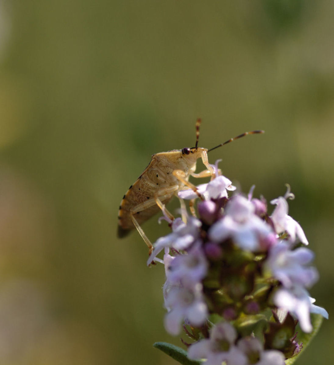 Shield bug on thyme blossom